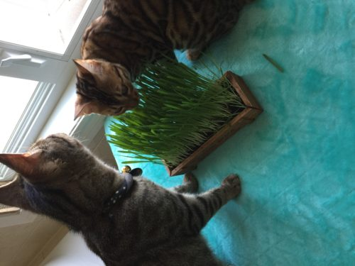 Trying out cat grass.